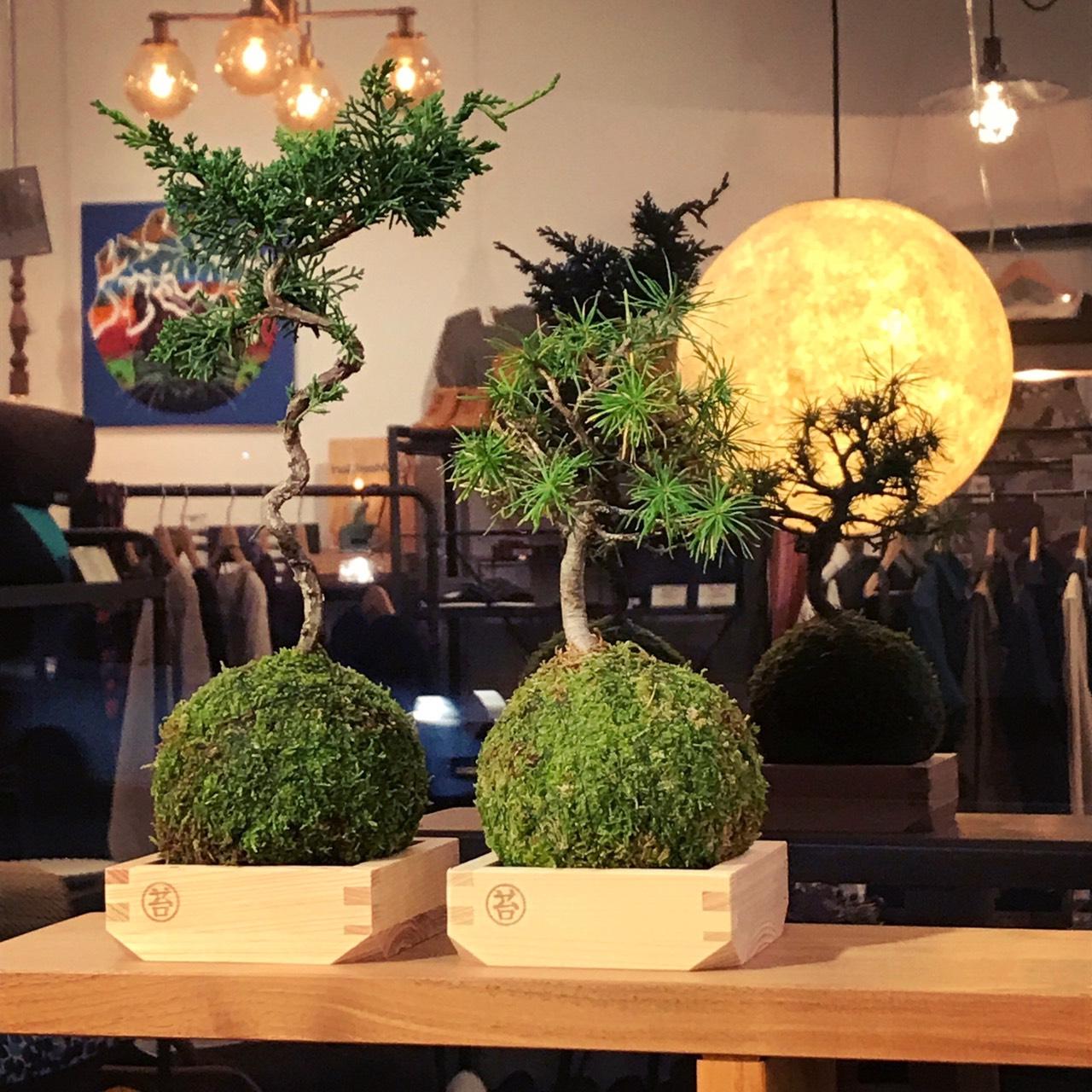 秋の名月が映える盆栽『MASS MOSS』